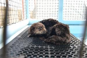 Oiled Sea otter
