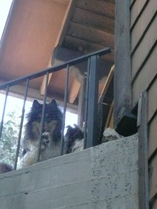 Collies tri color are watching as I take picture of house